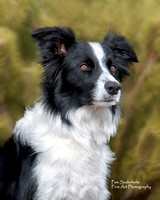 Border Collie-1597-Oil Painting
