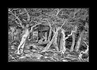 Dance Of The Bristlecone - Merit Image - 1st Place Black/White