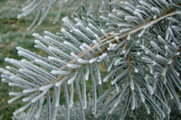 Pine Frost-9