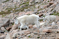 Mountain Goat Mom and Baby-4768