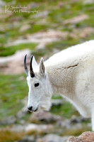 Mountain Goat-4858