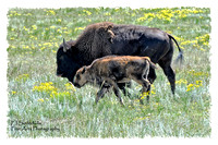 Bison Cow and Calf-9211