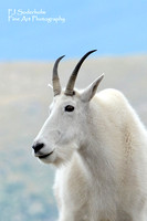 Mountain Goat-4812