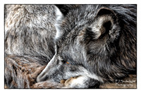 Rocky Mountain Wildlife Foundation-Wolves-Guffey, CO - www.rockymountainwildlifefoundation.com