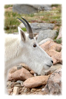 Mountain Goat-4797